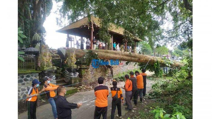 Pohon Pule Tumbang di Desa Akah Klungkung Bali, Seorang Warga Alami Luka Lecet