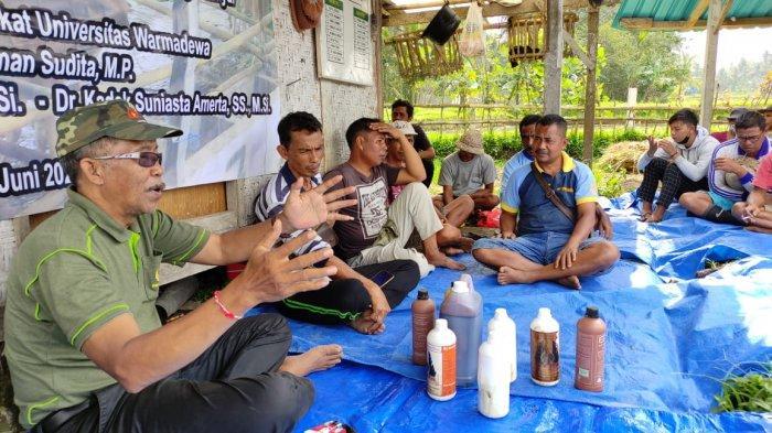 Fermentasi Jerami Padi Jadi Solusi Ketersediaan Pakan Ternak di Bali di Musim Kemarau