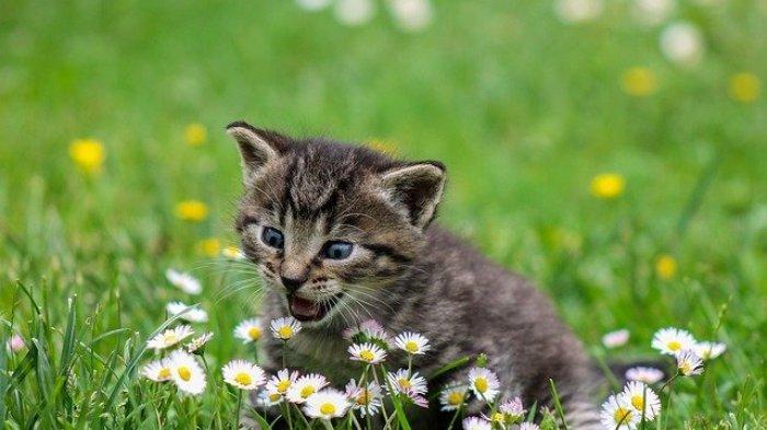 Kucing Kesayangan Bikin Jengkel Karena Suka Menjatuhkan Barang, Ini Alasannya