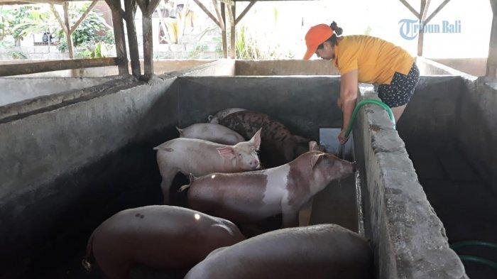 Penyebab Stok Babi Kurang di Bali Jelang Galungan, GUPBI: Ada Peternak Kirim ke Luar