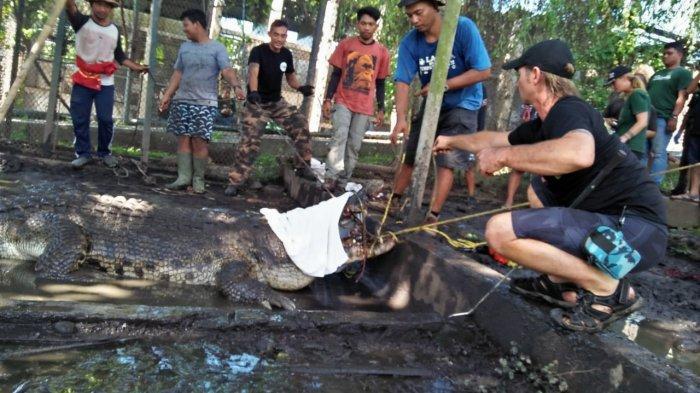 BKSDA Bali Translokasi 14 Buaya Muara ke Taman Nasional Way Kambas Lampung