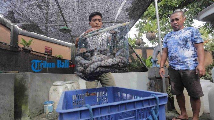 Gusti Putu Susila menimbang Lele sebelum diolah menjadi bakso Lele di Kediamannya, Suwung Batan Kendal, Denpasar, Rabu 3 Maret 2021.