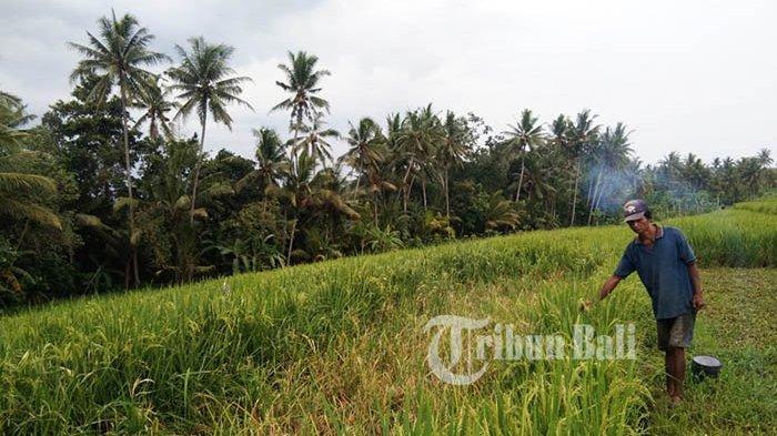 Klaim Asuransi Pertanian 2020 Capai Rp 2.4 Miliar, Pertanian Tabanan Bali Dominan Diserang Tikus