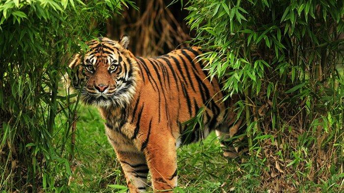 Menggeram di Depan Rumah Warga, Harimau Siberia Datang 'Minta Pertolongan'