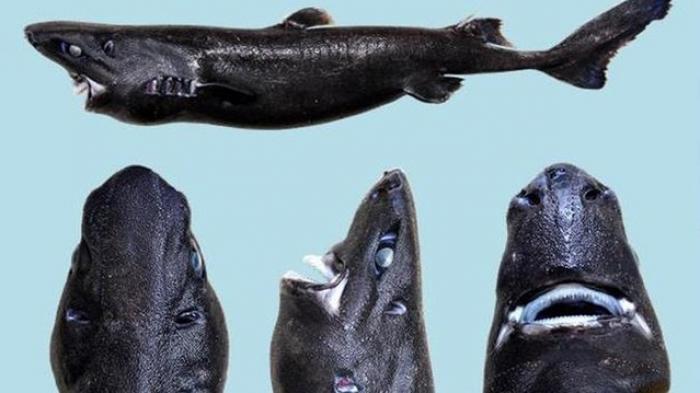 Hiu Warna Hitam Ini Disebut Hiu Lentera Ninja, Spesies Terbaru di Samudera Pasifik