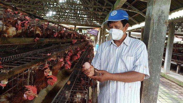 Meski Harga Telur Anjlok, Peternak Ayam Petelur di Badung Tetap Bertahan Karena Sempat Dibina Pemkab