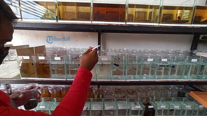 Berkah Pandemi Covid-19, Penjualan Ikan Cupang Alami Kenaikan