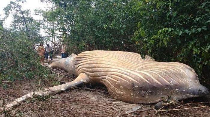 Ikan Paus Ditemukan Mati di Tengah Hutan Amazon, Fenomena Aneh Bingungkan Peneliti