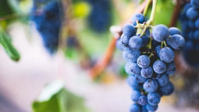 Arti Mimpi Tentang Anggur, Pertanda Keberuntungan, Karier dan Keuangan Moncer, Hidup Bahagia
