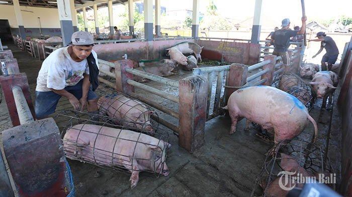 Dinas Pertanian dan Pangan Badung Turunkan 62 Tim Kesehatan Untuk Lakukan Pengecekan Daging Babi
