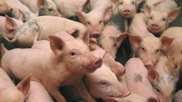 Hendak Memberi Makan, Perempuan Paruh Baya Ini Malah Tewas Dimakan Babi Peliharaannya