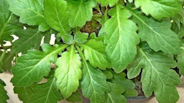 Obat Herbal dari Daun Beluntas: Ampuh Mengusir Bau Badan & Mulut, Mengatasi Pegal Linu & Rematik