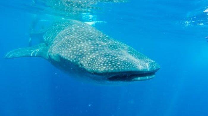 Seekor Ikan yang Diduga Hiu Paus Terdampar di Pantai Lebih dan Pantai Siut Gianyar