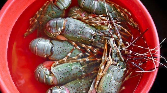 Nelayan Tabanan Usulkan Size 100 Gram Untuk Ekspor Lobster, Lobster di Bali Sulit Capai 150 Gram