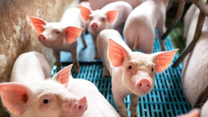 GUPBI Bali Akui Hanya Kabupaten Bangli Yang Tidak Kekurangan Stok Babi Jelang Galungan 2021
