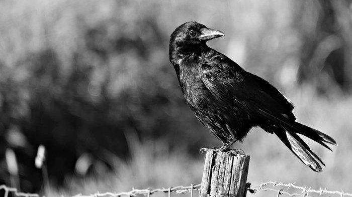 Mimpi Melihat Burung Gagak, Waspada Ada yang Berniat Jahat