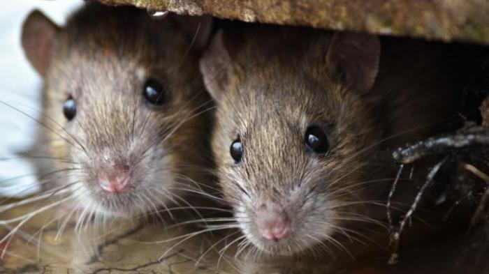 Kisah Pilu Warga Miskin di Myanmar, Terdampak Pandemi Covid-19 Terpaksa Buru Tikus untuk Dimakan