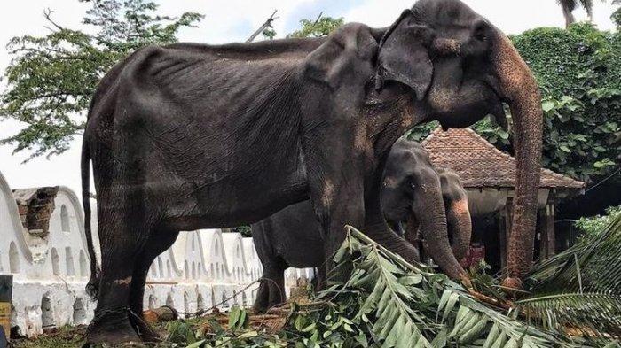 4 Kisah Memilukan Gajah Berujung Tragis, Ada Yang Tewas Saat Angkut Turis
