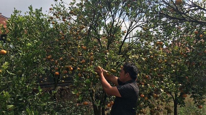 Jeruk Siam Murah Jelang Panen Raya, Wistawa Sebut Ini Harga Terendah