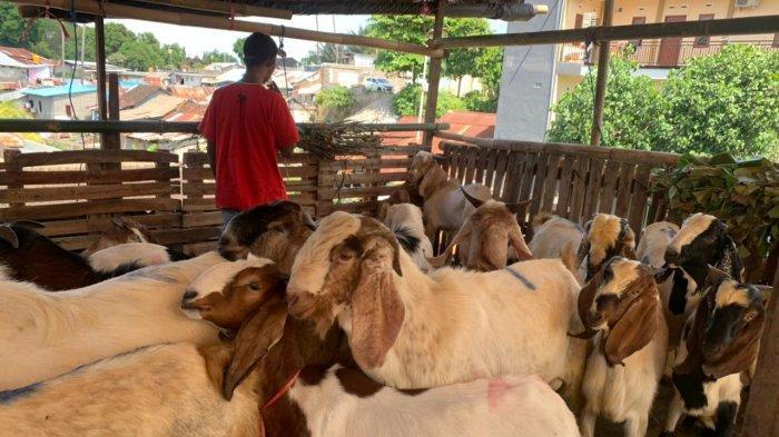 Jelang Idul Adha di Tengah PPKM Darurat, Pedagang Kambing Kurban Kampung Jawa Denpasar Mengeluh