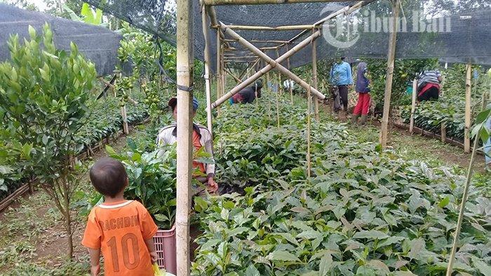 Petani Memilih Budidaya Jeruk, Produksi Kopi Kintamani Merosot Saat Permintaan Tinggi
