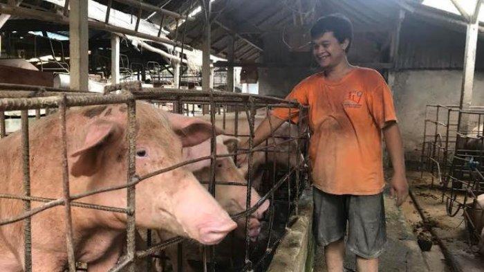 Foto Babi Di Potong Harganya Siap Siap Naik Jelang Galungan Dan Kuningan Pasokan Daging Babi Dipastikan Aman Tribun Bali