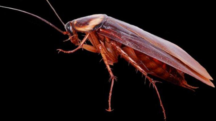 Bawa Banyak Bakteri, Berikut 5 Cara Ampuh Usir Kecoa di Dalam Rumah