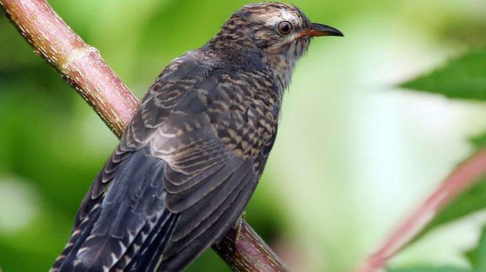 Mitos Suara Burung Di Malam Hari Pertanda Datangnya Musibah Hingga Akan Ada Yang Meninggal Tribun Bali