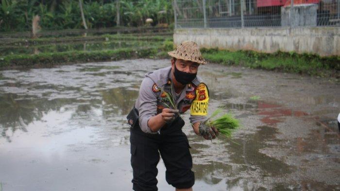 Sukseskan Program Ketahanan Pangan, Kapolres Gianyar Pimpin Kegiatan Penanaman Padi di Ubud