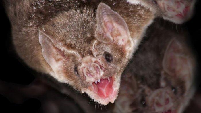 Dalam Gua-gua di Laos Ditemukan Kelelawar Pembawa Virus Mirip Covid, Menginfeksi Langsung Manusia