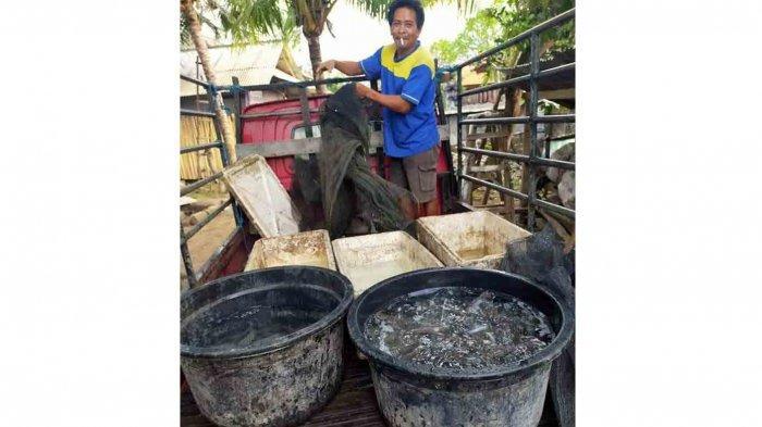 Bertahan di Tengah Pandemi Covid-19, Budidaya Ikan Lele di Badung Bali Tetap Bisa Panen Raya