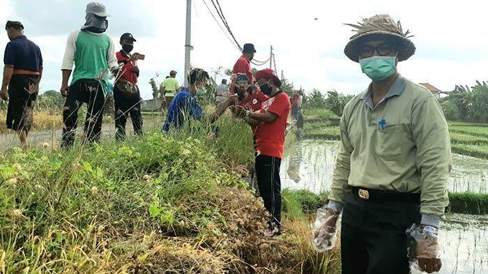 Usir Hama di Sawah Lewat Jalur Niskala, Pemkab Badung Bakal Gelar Ngaben Bikul