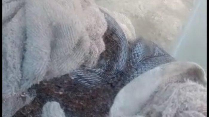 Ismaya Kaget Dengar Suara Mendesis di Bawah Ranjang, Ternyata ada Ular Kobra Sepanjang 1,5 Meter
