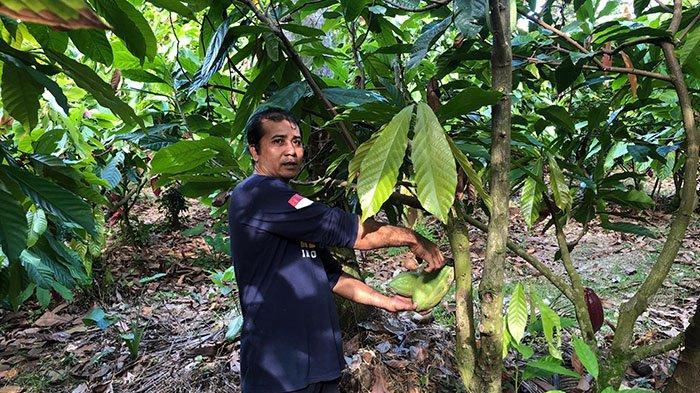 Petani Kakao di Jembrana Hasilkan 50 Kilogram Biji Cokelat Per Bulan, Wirahadi: Cukuplah untuk Makan