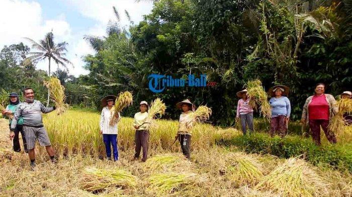 1 Hektare Lahan Salak di Desa Duda Timur Karangasem Bali Akan Beralih ke Padi Tahun Ini