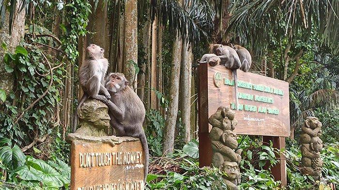 Pengelola Objek Wisata Sangeh Tegaskan Tak Ada Monyet yang Menyerang Warga Karena Kelaparan
