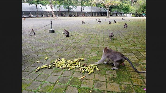 Pengelola Objek Wisata Sangeh Kesulitan Biaya Operasional,Buka Donasi Buah-buahan untuk Pakan Monyet