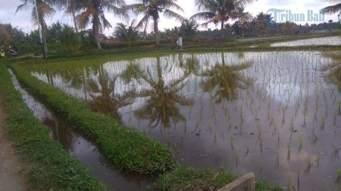 Petani di Ubud Bertengkar Rebutan Air, Prof Windia: Permasalahan Turun Temurun