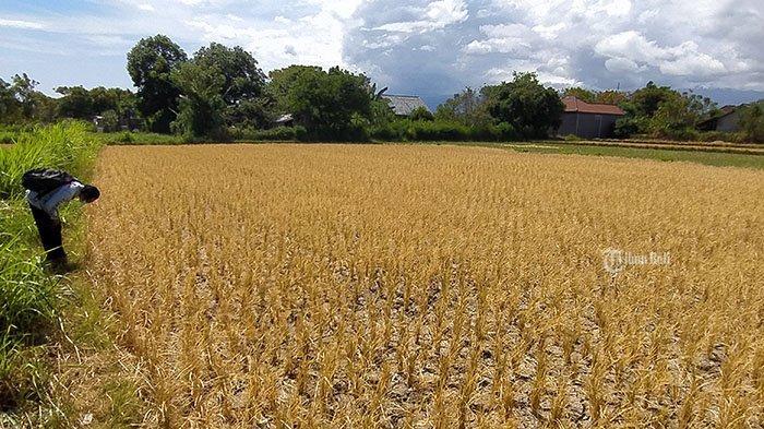 Masuki Musim Kemarau, 17 Hektar Sawah di Buleleng Alami Gagal Panen