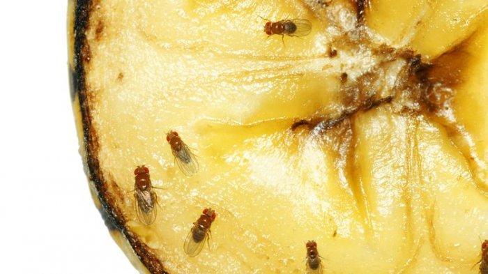 Serangga Kecil yang Menyebalkan, Yuk! Usir Lalat Buah dengan Cara Ini
