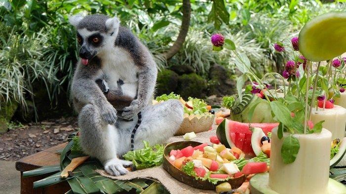 Bali Zoo Rayakan Hari Lemur Sedunia, Kunjungan Saat Libur Cuti Bersama Capai 1.200 Wisatawan