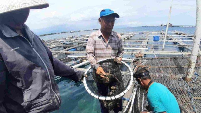 Budidaya Lobster Pertama Kali Berhasil di Bali
