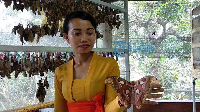 Kupu-Kupu Barong, Spesies Unik di Bali Butterfly Park yang Sukses Pikat Pengunjung