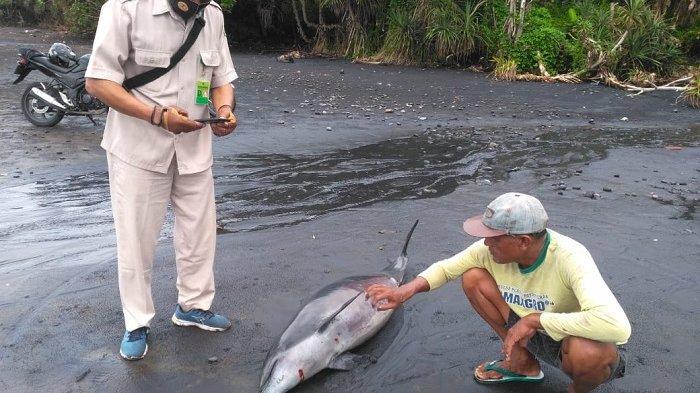 Lumba-lumba Sepanjang 1,3 Meter Ditemukan Mati Terdampar di Pantai Rambut Siwi