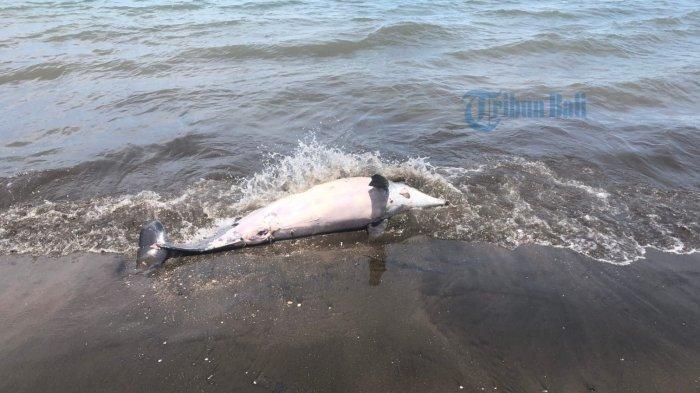 BREAKING NEWS: Seekor Lumba-lumba Terdampar di Pantai Pebuahan Jembrana