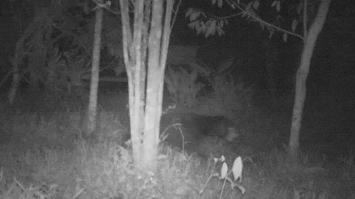 Penampakan Makhluk Berbulu Lebat dan Berjalan Seperti Manusia di Sumbar Ternyata Beruang Madu
