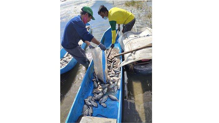 Peristiwa Semburan Belerang Danau Batur Kembali Terjadi, Kematian Ikan Capai 600an Kilogram