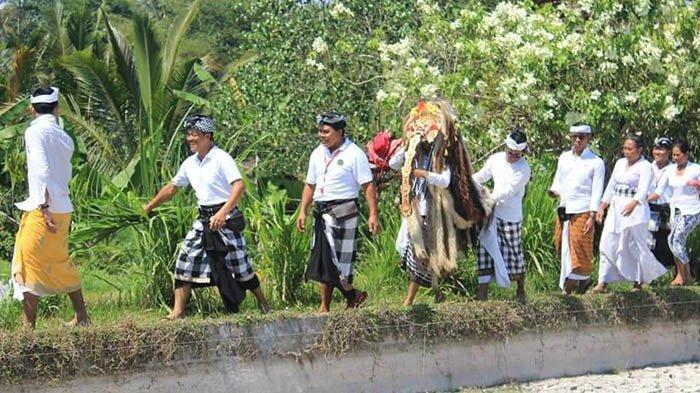 Subak Diserang Hama, Ratu Alit Iringi Prosesi 'Nangluk Merana' di Desa Apuan dan Jelantik Tabanan