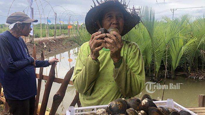 Di Tengah Pandemi, Mbah Roni Cari Kerang di Hutan Mangrove, Sehari Hasilkan Rp 60 Ribu