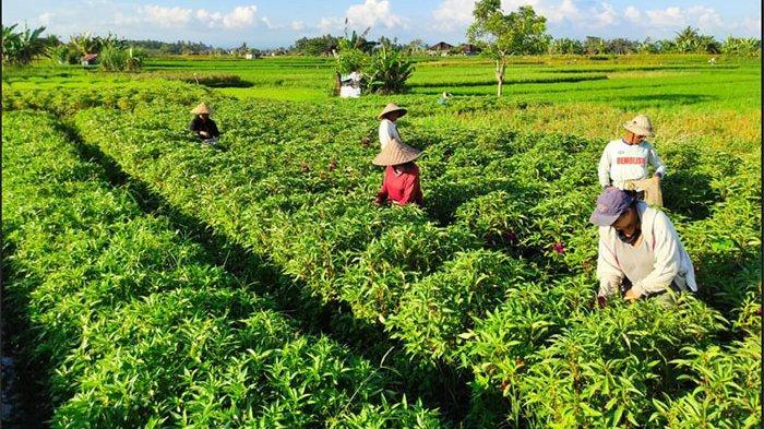 I Nyoman Suta Sebut Harga Bunga Pacar Air jelang Hari Raya Galungan di Badung Tembus Rp 125 Ribu/Kg